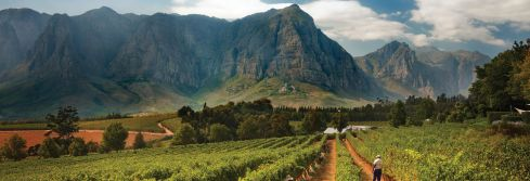 Vineyards_South africa